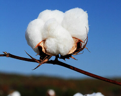 How Much of Cotton India Produced In Last 3 Years? – Find The Numbers Here  How Much of Cotton India Produced In Last 3 Years? – Find The Numbers Here 19 e1576819544933